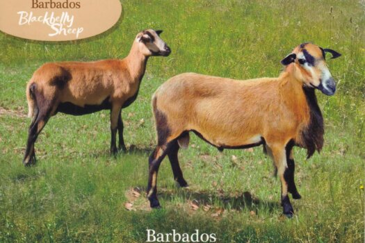 Barbados Stamps Pre Paid Postcard - Blackbelly Sheep - Actual Card