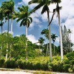 Palm Trees, Barbados